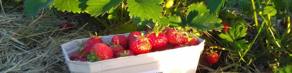 Erdbeeren in einer Pappschale auf dem Boden vor Erdbeersträuchern