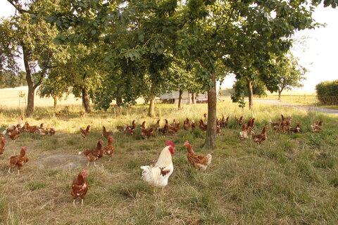 Hühner im Außenbereich unseres Hühnermobils