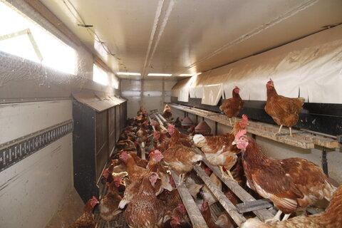 Hühner im Innenraum unsers Hühnermobil